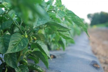 Specialty peppers, such as our Ghost Peppers, Habaneros, and Carolina Reapers take a little extra time