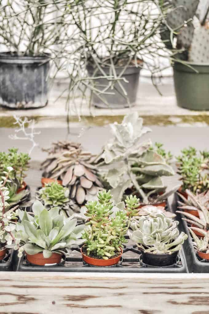 Succulent plants in a tray for purchase in a store.