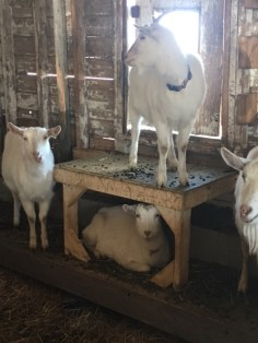 Goats inside