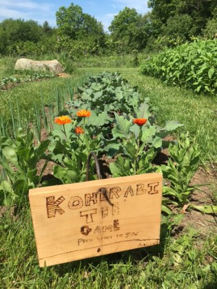 Kohlrabi and its Marigold guardian in the PVS home garden