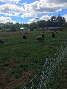 Sheep enjoying pasture