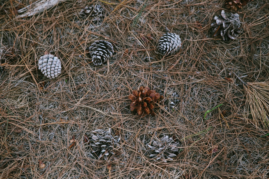 Pine cones in the Myalup State Forest.