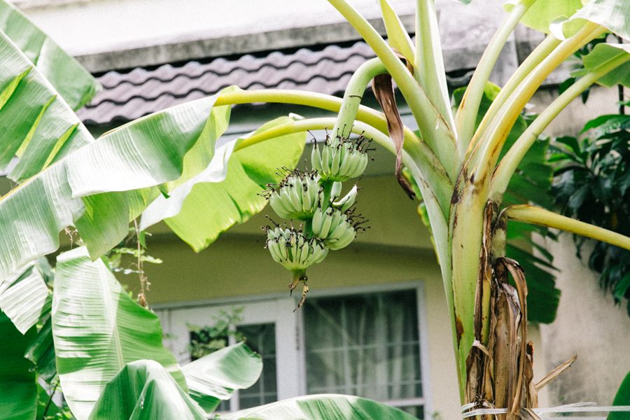Bananas growing in Bangkok suburbia.