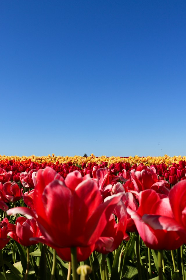 Tulip festival in Mt. Vernon with Amanda from Fashion to Follow