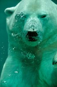 bear-coucou-polar-4514