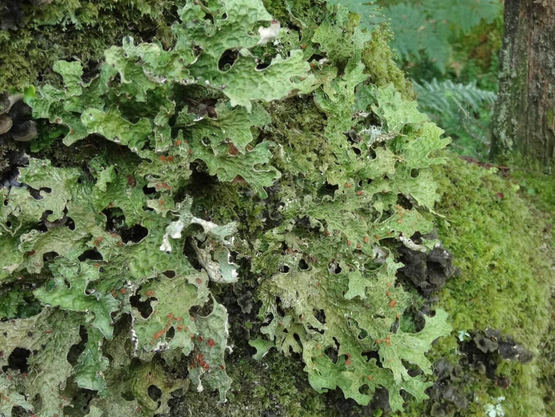 Tree lungwort