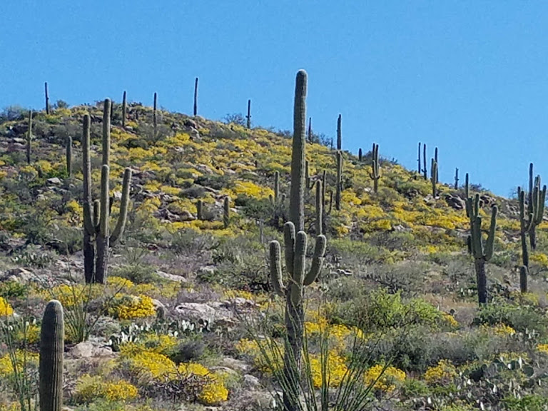 Springtime in the Catalina Foothills in Tucson, Arizona. Bright blue sky and large saguaro cactus.