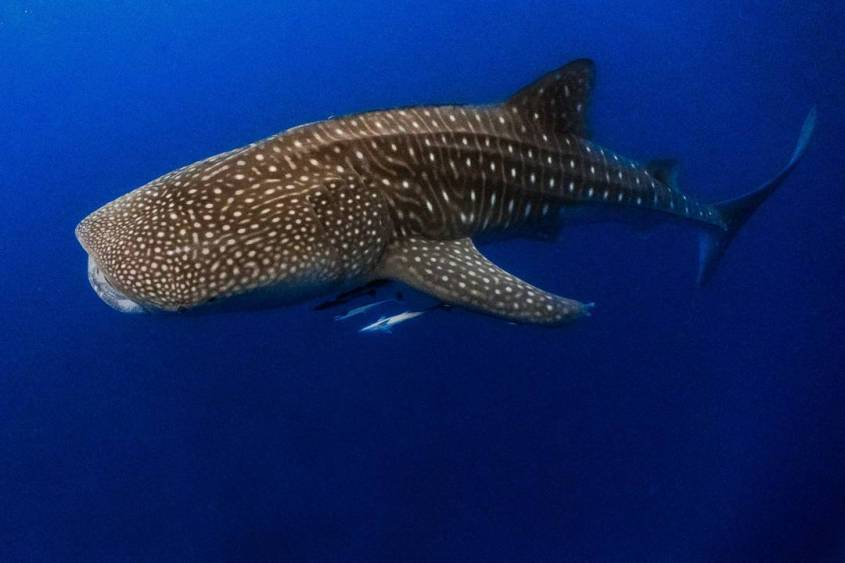 Chasing Whale Sharks in Pintuyan, Southern Leyte