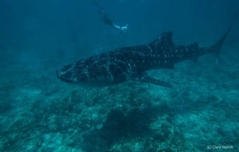 Teja and whale shark