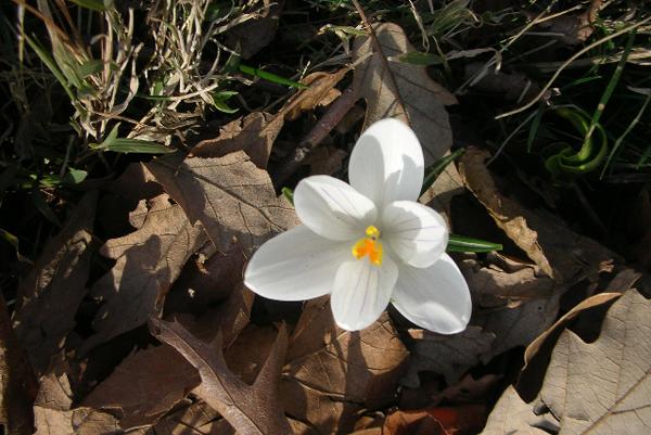white flower, Claytonia virginica)