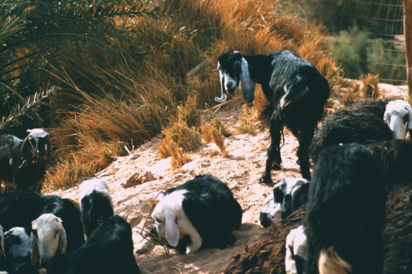 Goats pose a risk to image: Erik Mustonen