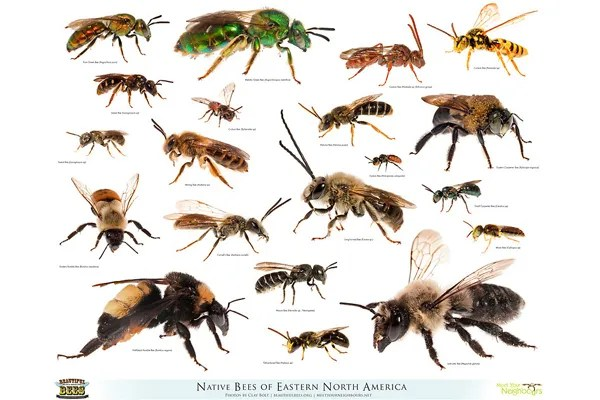 Native bees of Eastern North America image: © Clay Bolt | claybolt.com | beautifulbees.org