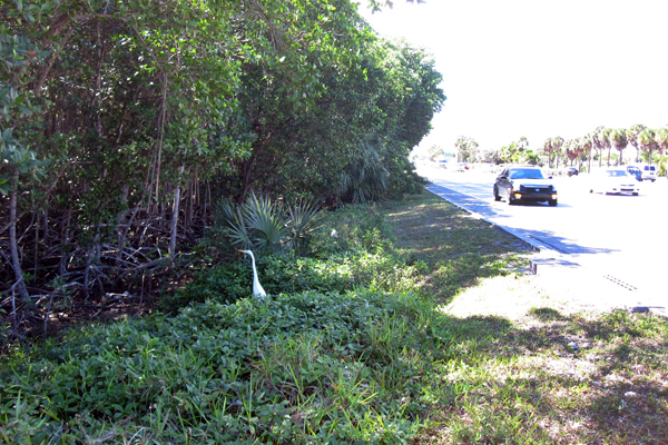 A Great Egret stalks food at a mangrove forest edge in North Miami, Florida. image: Davie Biagi
