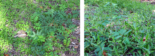 Figure 2: Close-up photos taken in July 2016 (3 months after installation) of edge condition shown in figure 1. Mimosa strigillosa (Sensitive Plant) and Phyla nodiflora (Texas Frogfruit). image: David Hopman