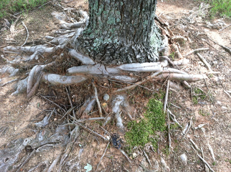 Circling roots that lacked root pruning during tree production Photo credit: James Urban
