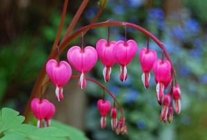 Bleeding Heart Flowers-Creative Commons