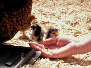 Chickens Image Source: M C Morgan, Flickr, Creative Commons