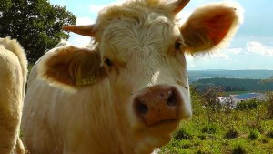 Yep, that's a cow. Public Domain via Pixabay