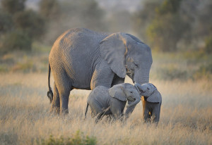 Image Source: Diana Robinson, Flickr, Creative Commons Mother elephant with twins in Amboseli National Park, Kenya, East Africa
