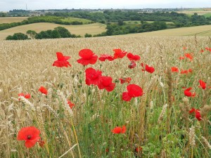 Image Source: DncnH, Flickr, Creative Commons Poppy Field A smattering of poppies in a wheat field: Castle Hill, Kirkby-in-Ashfield, Notts.