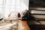 Percival Pup