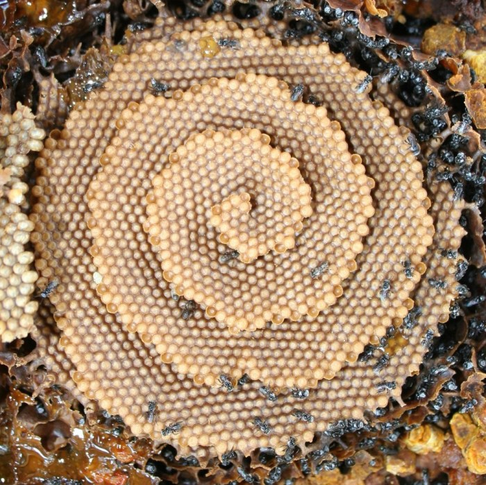 native stingless bee nest