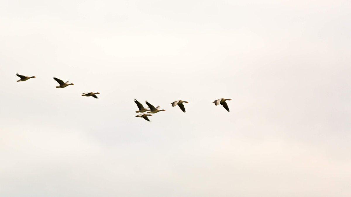 flying birds in sky