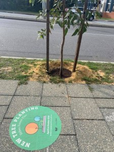 Young tree on a Perth street with no shade