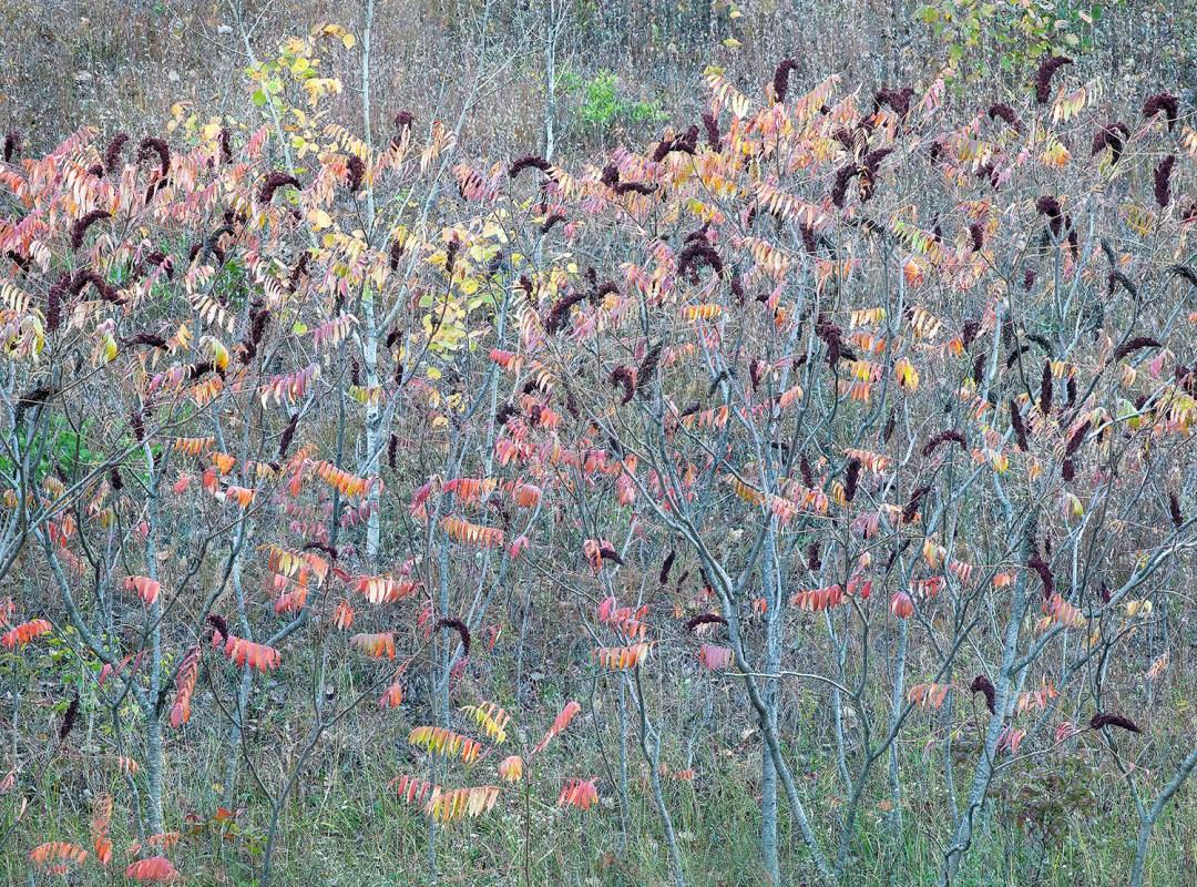 Autumn Sumac Design