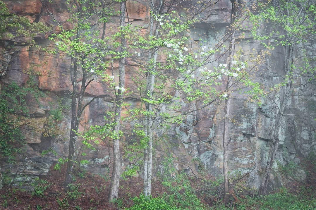 Rock Wall and Dogwood