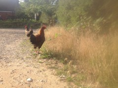 Chicken on White House Farm