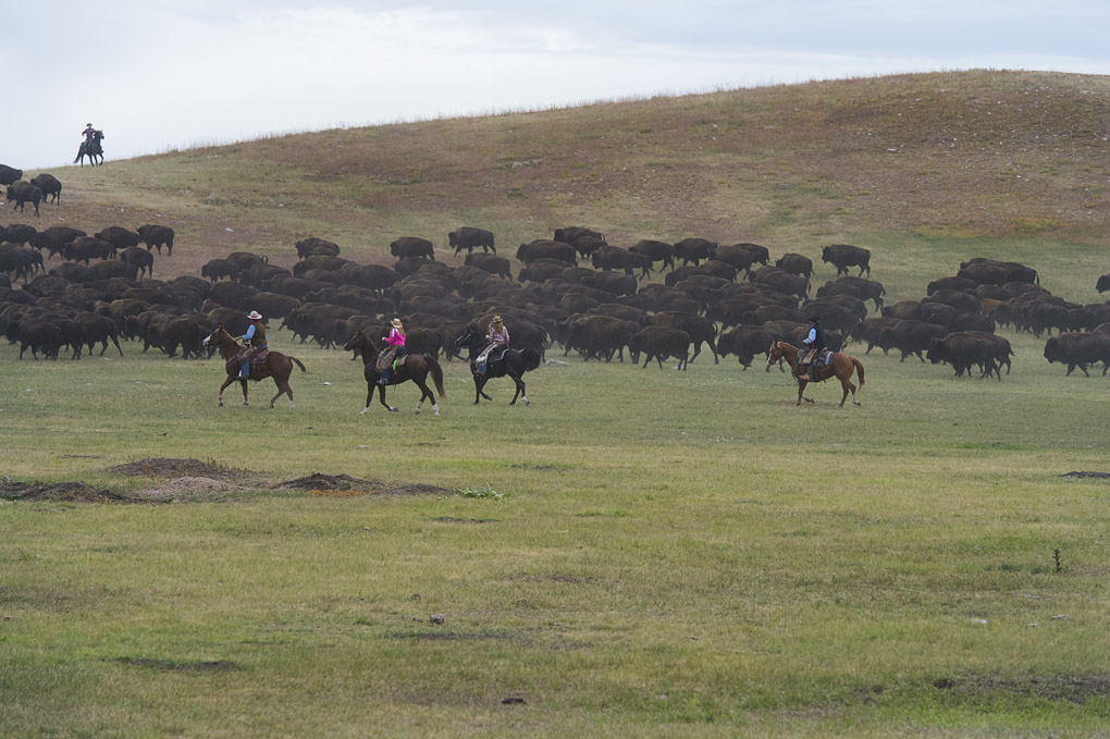 The South Dakota Buffalo Roundup