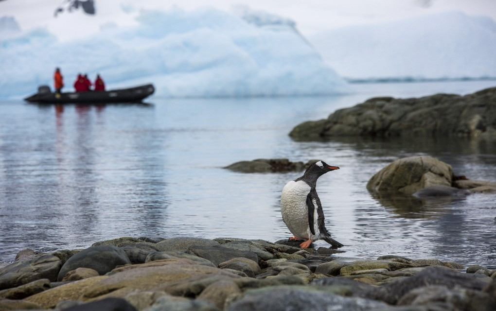 penguin, Antarctica, expedition cruising, Wildfoot Travel, white wedding in Antarctica