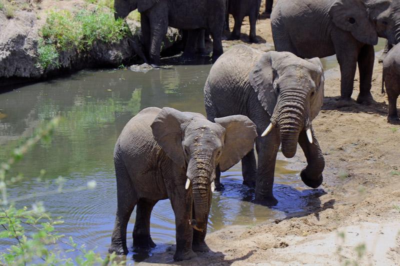 elephants, Serengeti National Park, Serengeti, Africa, wildlife, on safari