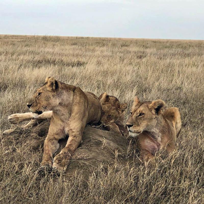 Lions, lion pride, Africa, Tanzania, Maasai Wanderings, Nasikia Camps, Classic Safari Company, on safari