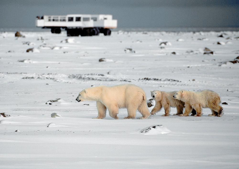 Frontiers North Adventures, Canada, tundra buggy, polar bears