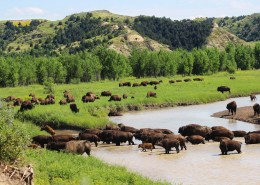 North Dakota, bison, wildlife, Theodore Roosevelt National Park