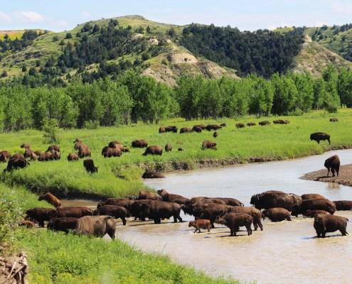 North Dakota, bison, wildlife, Theodore Roosevelt National Park