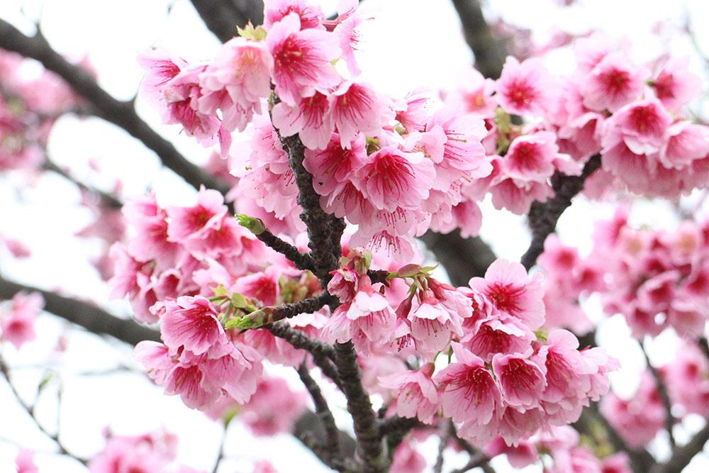 Okinawa, cherry blossoms, Japan