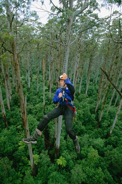 Roman tree climbing in Australia in 2002. Photo: Bill Hatcher