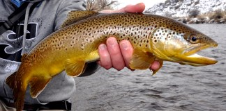 brown trout hearing taste smell