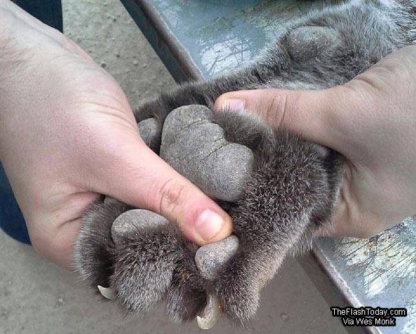 The cat had some massive paws with and where larger than the hunter's hand. The retractable claws are the reason most tracks do not have claw marks in them.