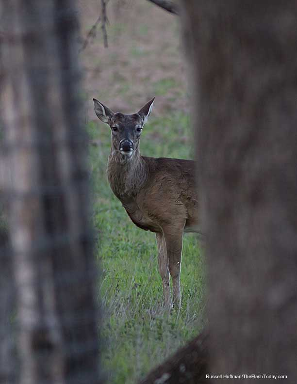 A young buck shows the first sign of antler nubs.
