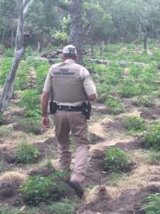 menard_county_marjuana_operation--
