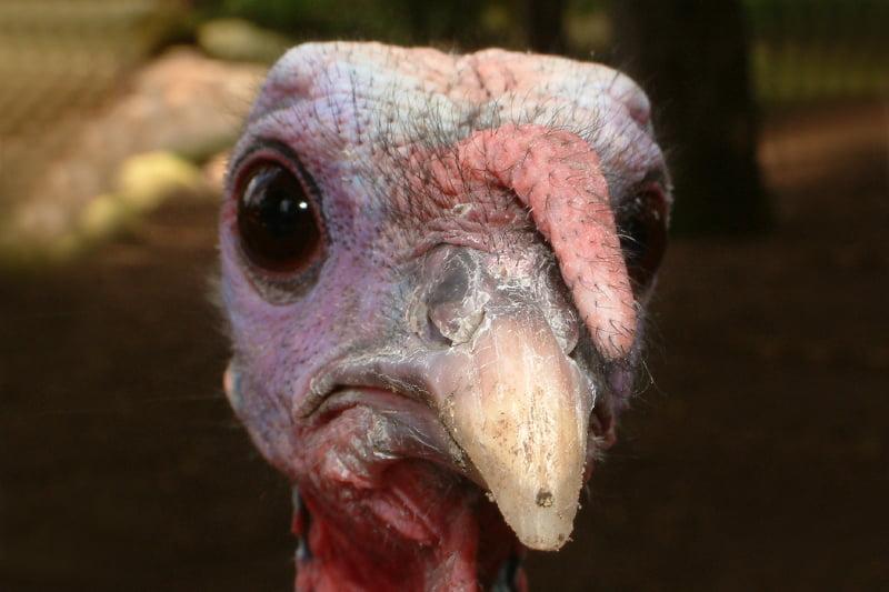 turkey 800