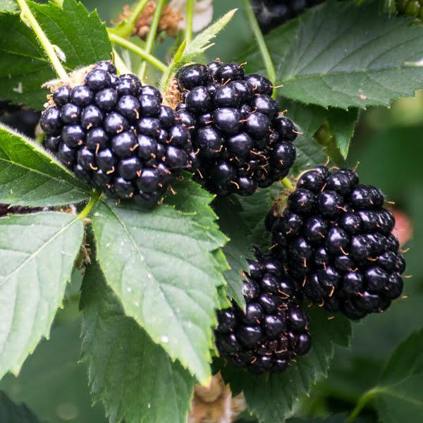 Driscoll's Victoria Sweet Blackberries