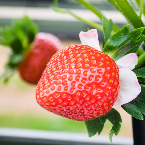 Jubilee Selections Strawberries