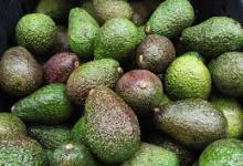 Photo of How to export Kenyan avocados with ease