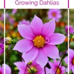 A Beginner's Guide To Dahlias