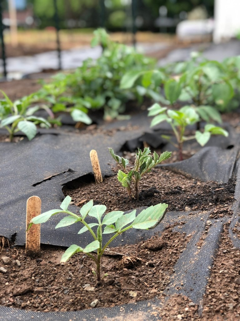 You can grow your own dahlias by following these easy dahlia tuber planting steps. Start growing beautiful dahlias this summer!